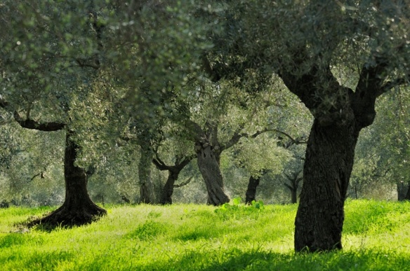 the-olive-grove