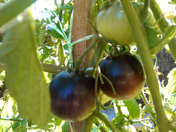 red & black tomatoes