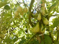 Beam's yellow pear tomatoes