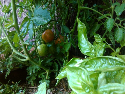jungle view: basil & tigerella tomatoes